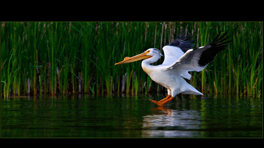 Photograph of a stork landing on a body of water - PPOC (Professional Photographers of Canada)